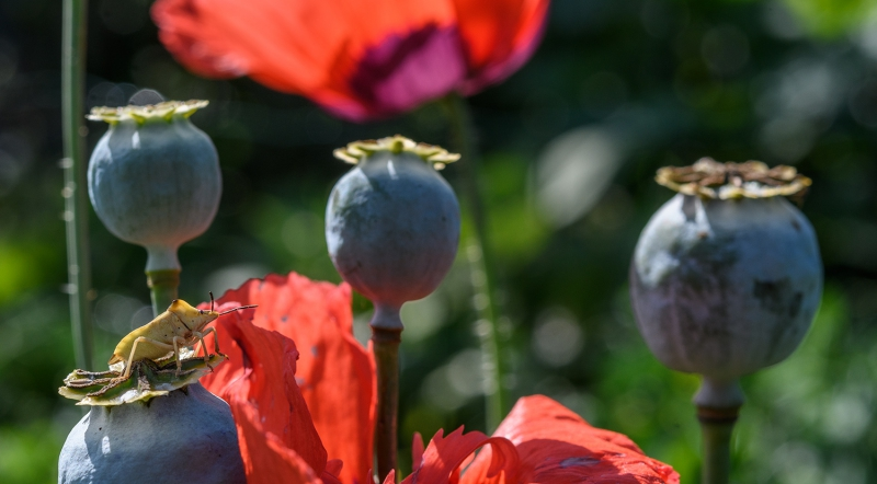 Life on Poppies